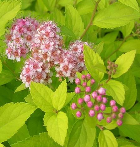 Спирея японская голден принцесс - посадка и уход красивого цветка