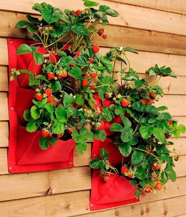 Ампельная клубника: сорта, особенности выращивания и ухода