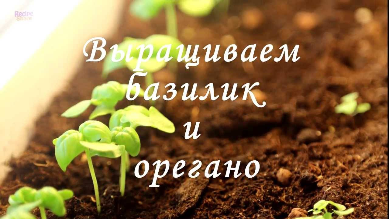 Выращивание базилика из семян