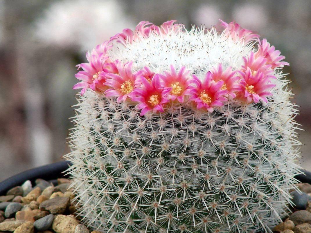 Как ухаживать за кактусом маммиллярия? популярные виды и советы по выращиванию