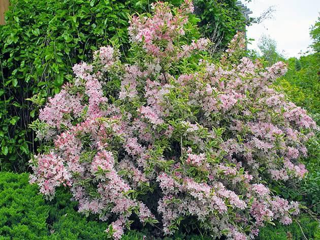 Вейгела - фото, посадка и уход, когда цветет, описание сортов, обрезка, размножение