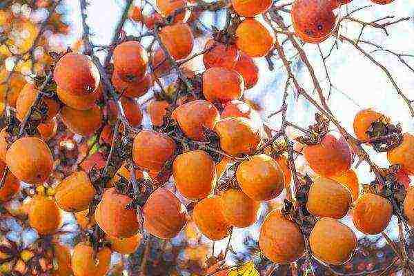 Хурма — божественный огонь в саду. выращивание, посадка и уход. виды, сорта. фото — ботаничка.ru