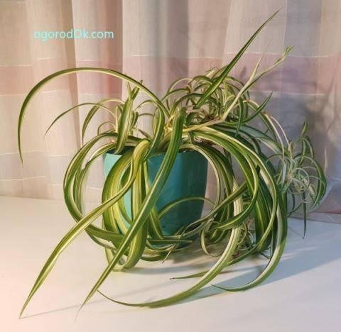 Выращивание хлорофитума из семян в домашних условиях и уход за ней