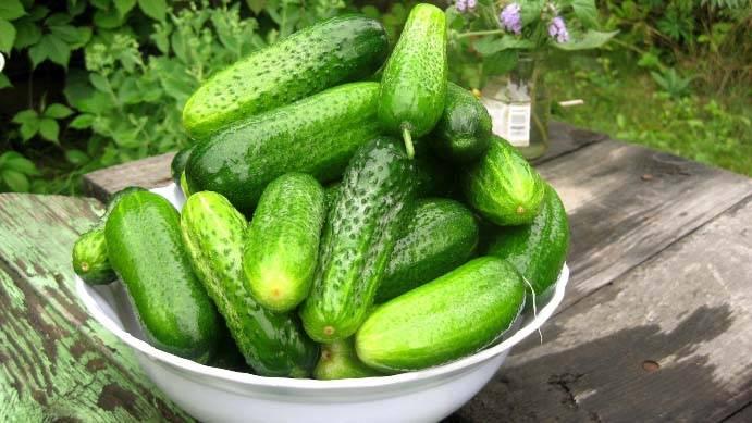 Огурец миллионер f1: описание нового сорта, отзывы тех, кто уже выращивал, фото, урожайность