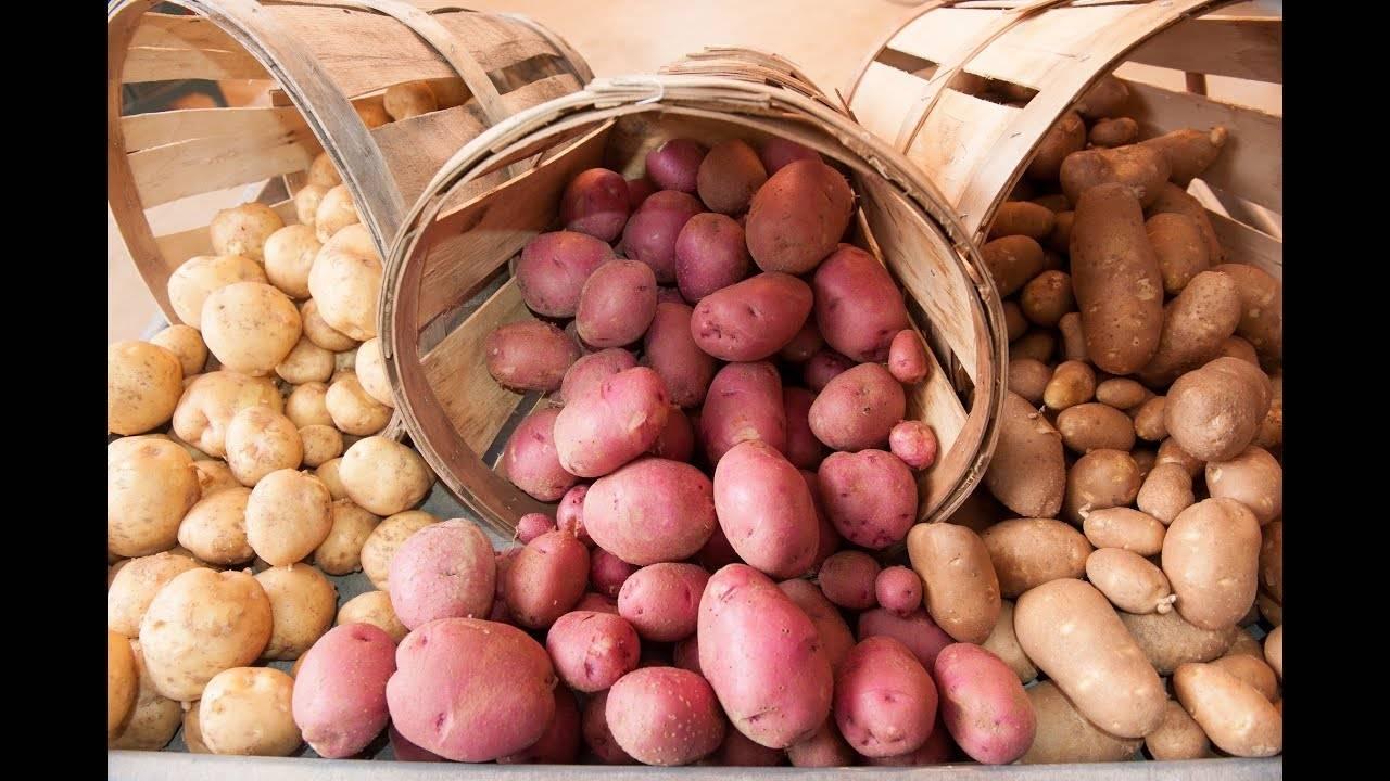 Картофель лабелла — характеристика и описание сорта, как выращивать