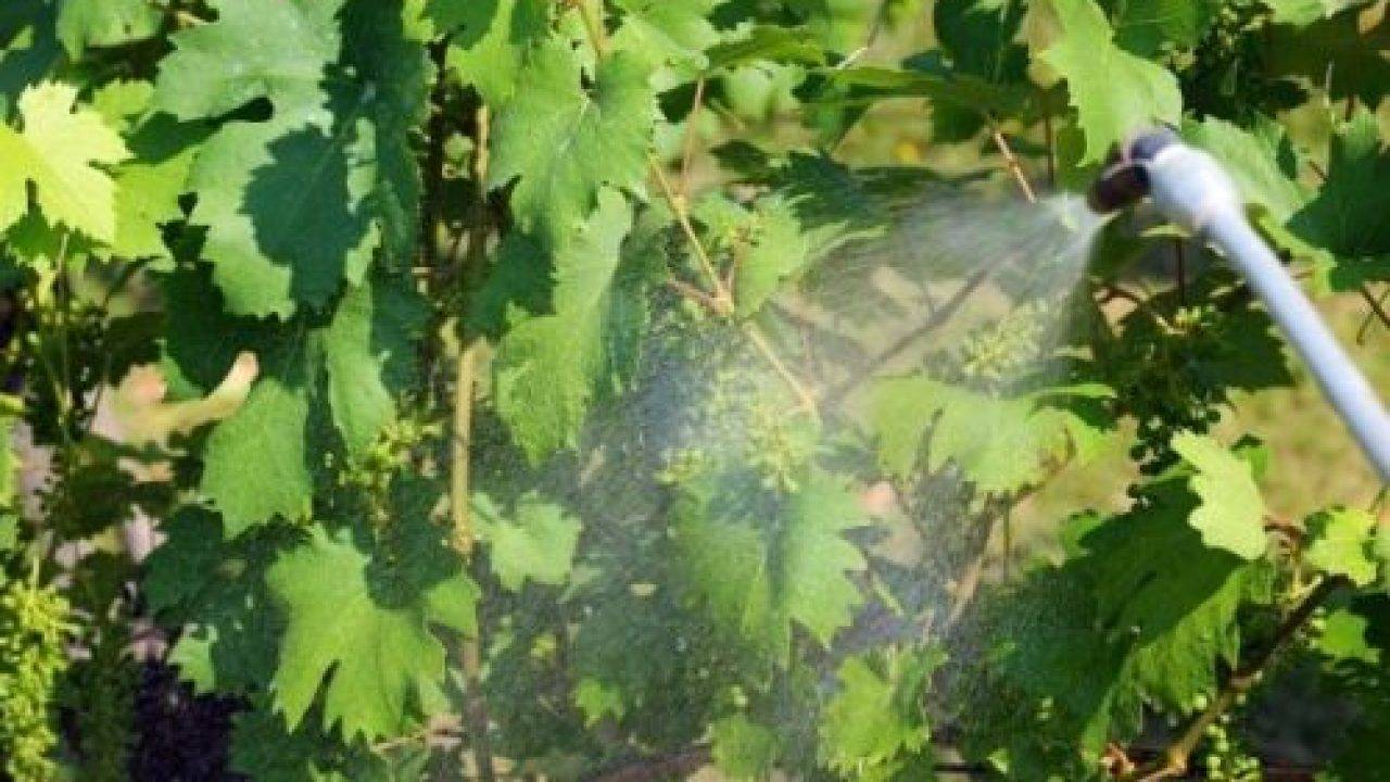 Осеннее опрыскивание винограда