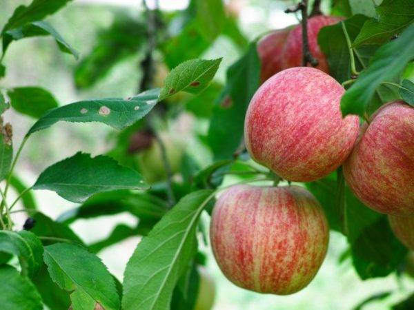 Яблоня победа: особенности сорта и ухода