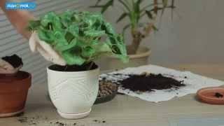 Пересадка комнатных растений - когда и зачем?