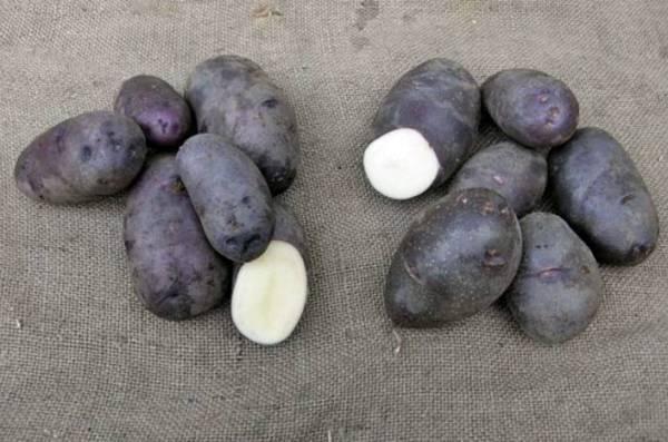 Красные сорта картофеля, описание и фото