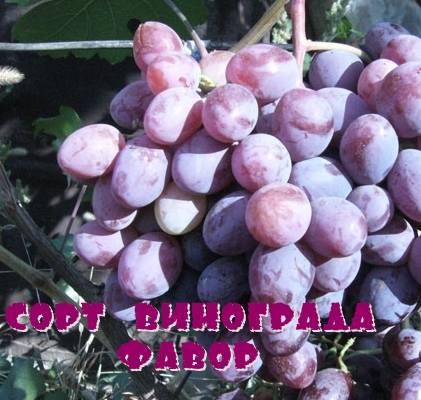 Виноград фавор. описание сорта фавор