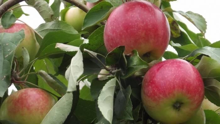 Яблоня мельба: посадка и уход за карликовым сортом