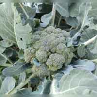 10 лучших сортов брокколи