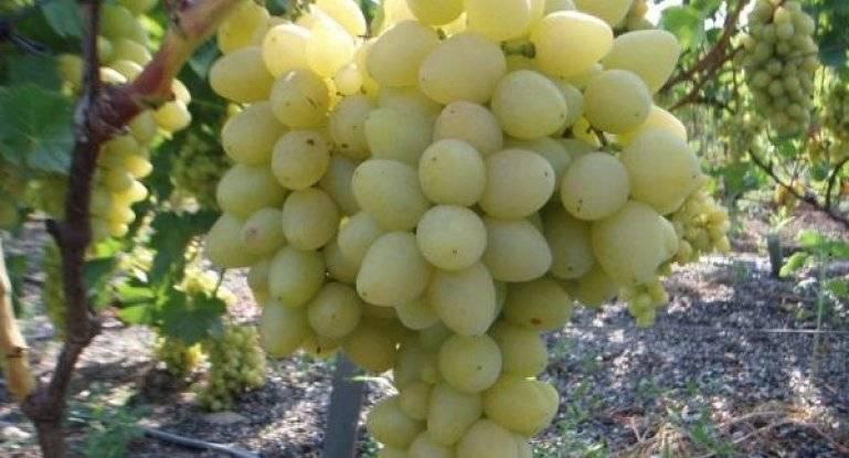 Виноград восторг черный: описание сорта, фото, отзывы