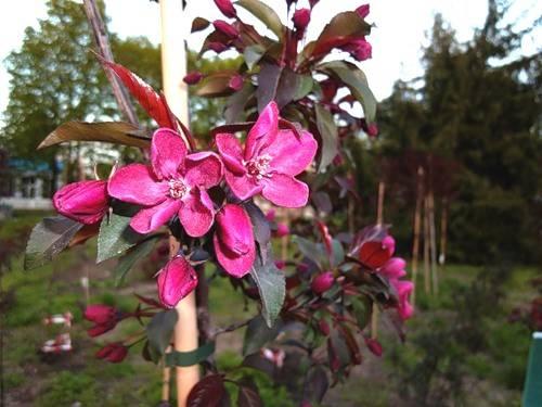 Цветение яблони: сроки для разных регионов выращивания и важные нюансы