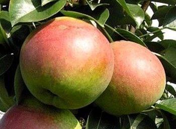 Груша десертная россошанская: как вырастить крупные плоды при минимальном уходе