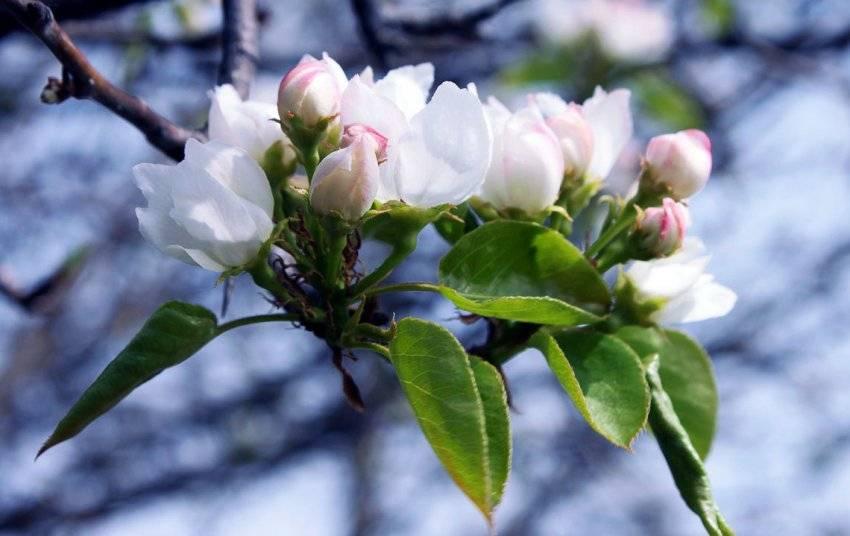 Почему не плодоносит груша: причины отсутствия плодов и цветов, пути их решения