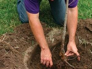 Посадка груши весной саженцами - важные правила подготовки и посадки для новичков