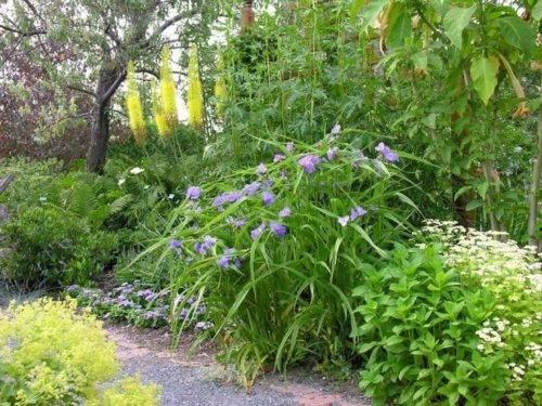 Традесканция садовая: виды, сорта, посадка и уход