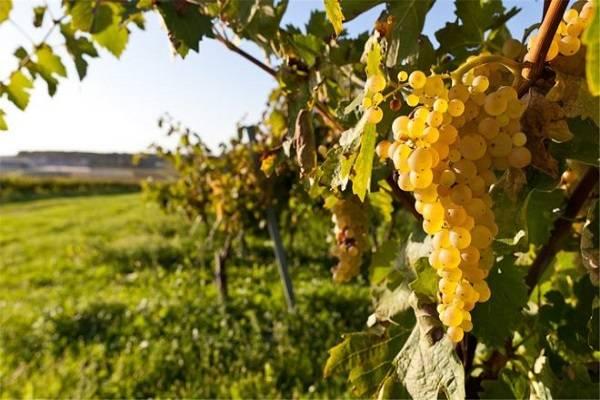 Описание сорта винограда шардоне: история, характеристики, достоинства и недостатки
