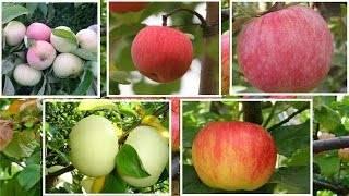 Яблоня «мечта»: описание сорта, отзывы, фото