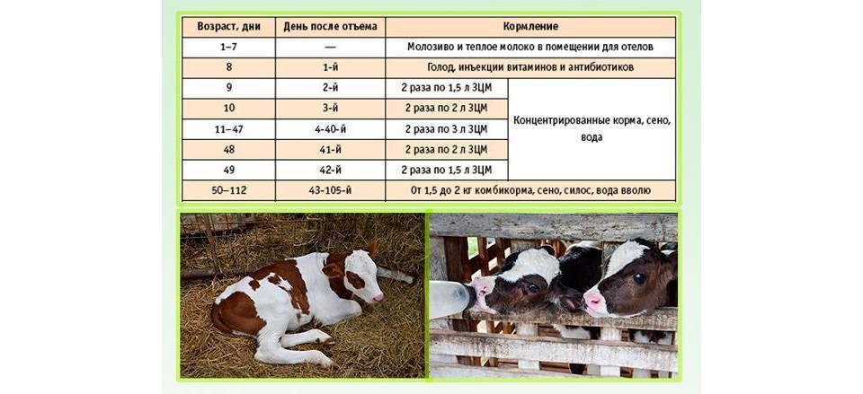 Как кормить теленка в первые дни и месяцы жизни - животноводство - смолдача - портал дачников, садоводов и любителей загородной жизни