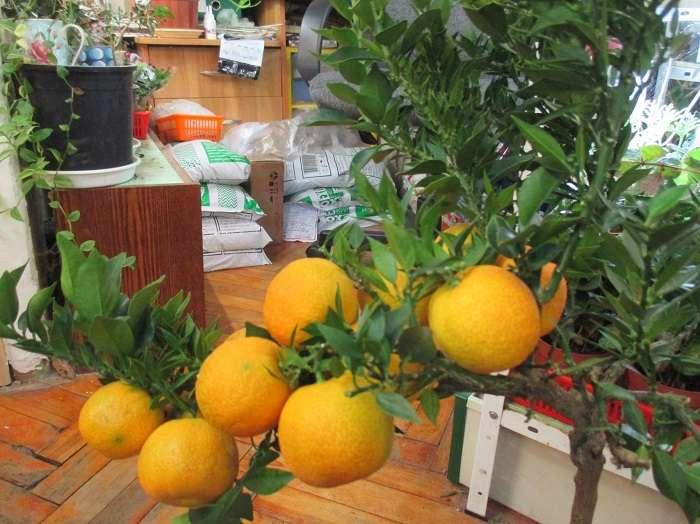 Выращивание апельсинов из косточек в домашних условиях, как посадить привить росток, болезни и уход selo.guru — интернет портал о сельском хозяйстве