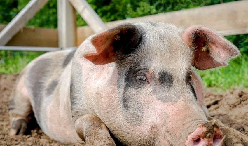 Кормление свиней. как правильно кормить поросят и свиней. откорм свиней – как составить рацион