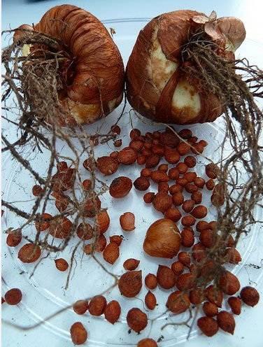 Ацидантера: фото, выращивание, посадка и уход в открытом грунте