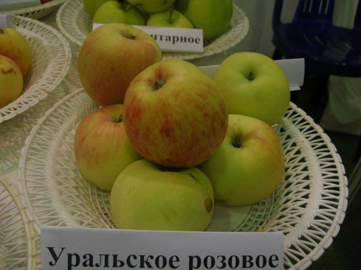 Яблоня для урала - сравнение сортов яблонь по разным признакам