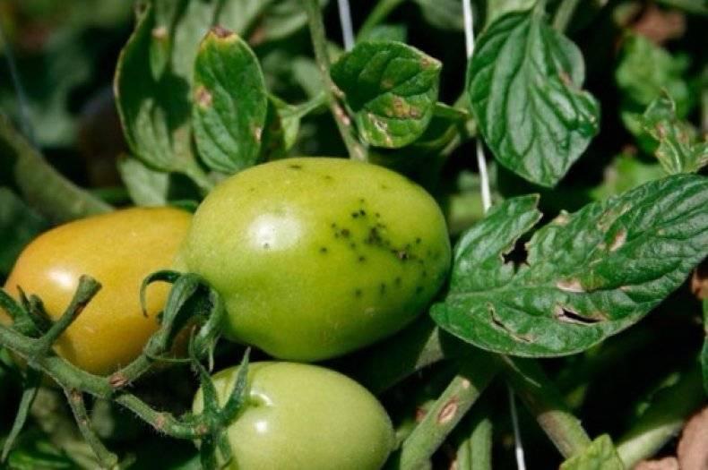 Белые пятна на листьях помидор: что это и как лечить