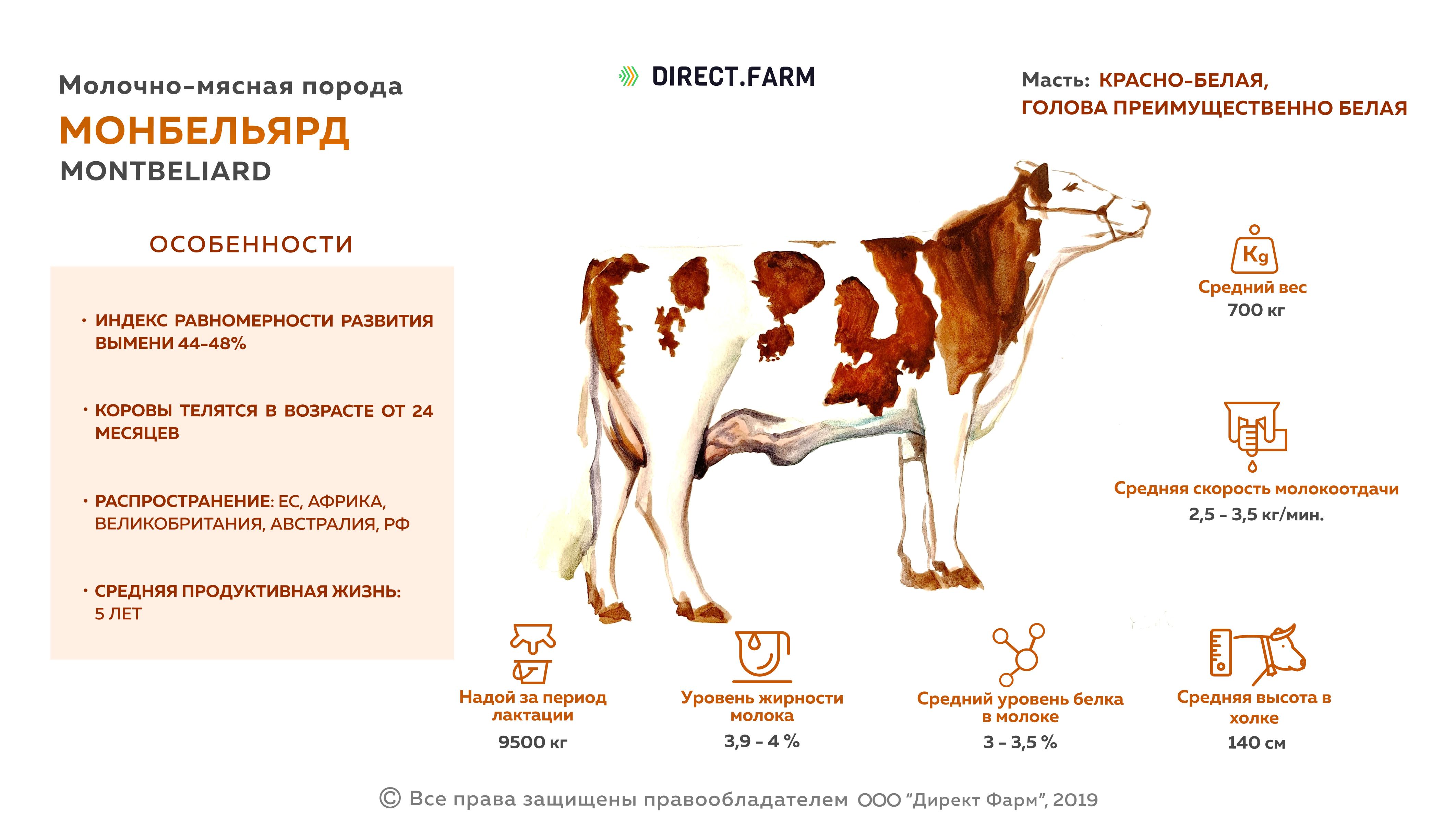 Особенности монбельярдской породы коров - мыдачники