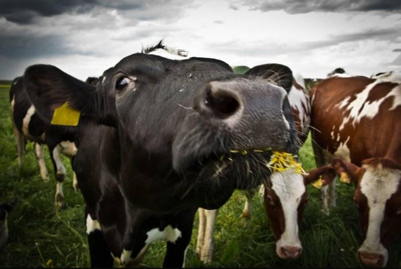 Бруцеллез – болезнь парного молока