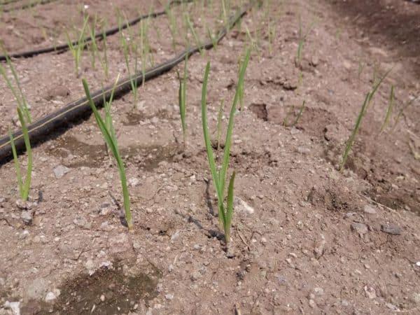 Правила полива чеснока в открытом грунте: как часто и как правильно поливать