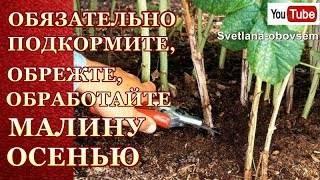Важные правила подготовки малины к зиме