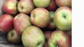 Описание яблони сорта «Услада»: посадка, фото, отзывы