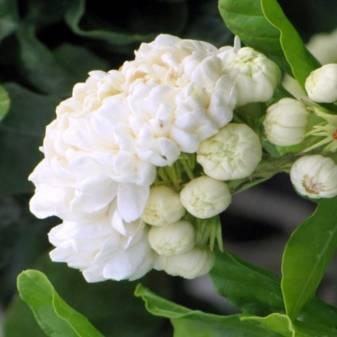 Жасмин комнатный: размножение цветка и уход в домашних условиях, сорта и фото, самбак, многоцветковый, почему растение не цветет и что делать?