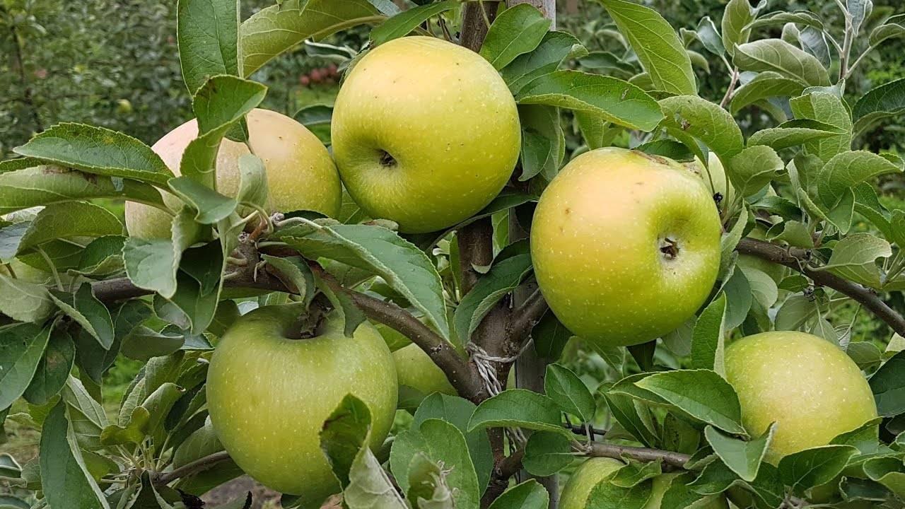 Сорт яблони семеренко: описание, фото
