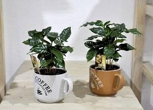 Кофейное дерево - растим в домашних условиях правильно (120 фото + видео)