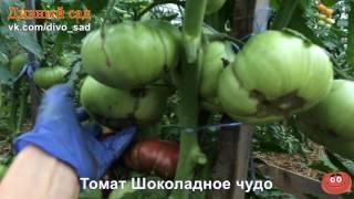 Томат шоколадное чудо: отзывы об урожайности помидоров, характеристика и описание сорта, фото семян