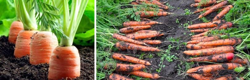 Как вырастить морковь крупной и сладкой на огороде: почему получается не большая, что делать, чтобы была длинной и сочной, а также список сортов для открытого грунта русский фермер