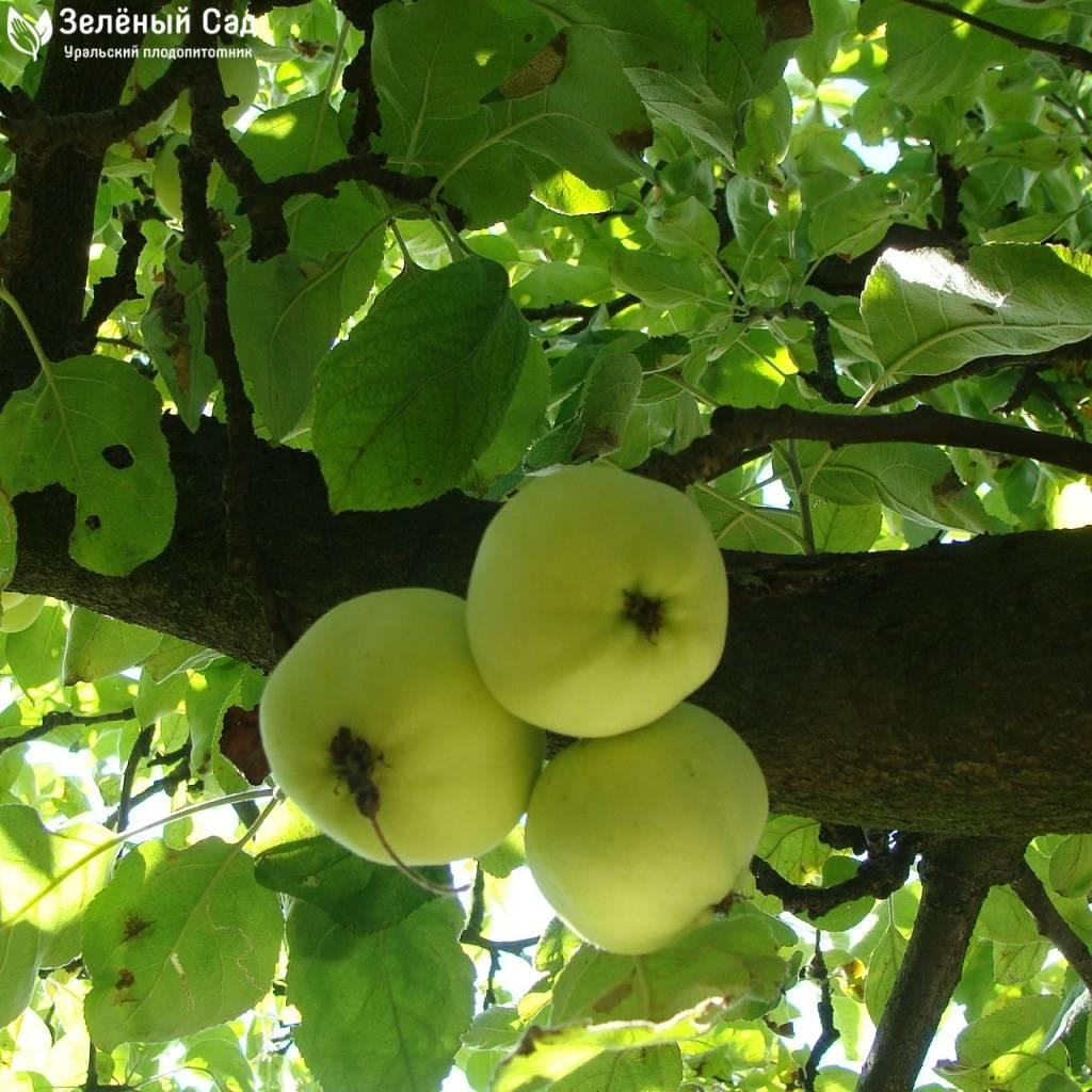 Яблоня уральское наливное: описание сорта, фото, отзывы, опылители, как обрезать