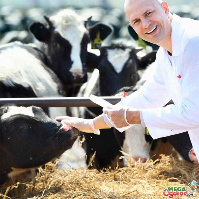 Какая температура тела должна быть у коровы