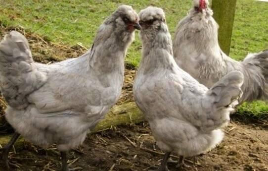 Амераукана порода кур — содержание и уход