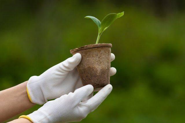 Выращивание ранних кабачков – семенами или рассадой