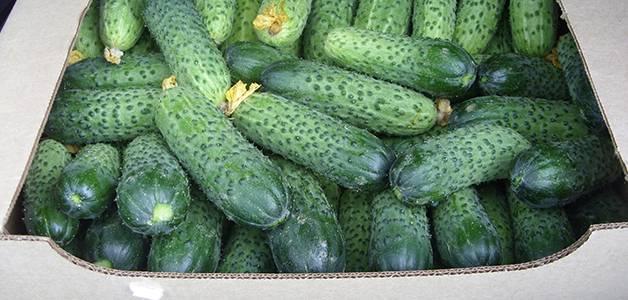 Лучшие сорта огурцов: самые урожайные сорта огурцов для открытого грунта