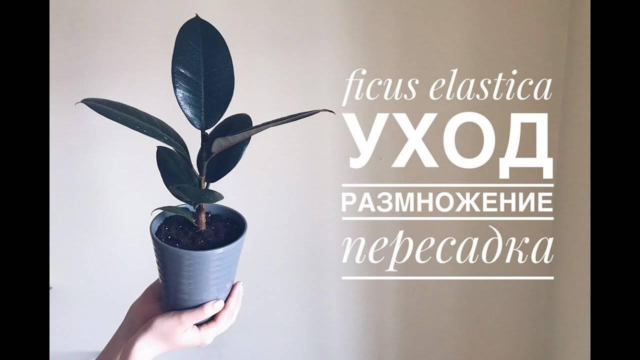 Фикус робуста: уход в домашних условиях, описание растения и правила выращивания