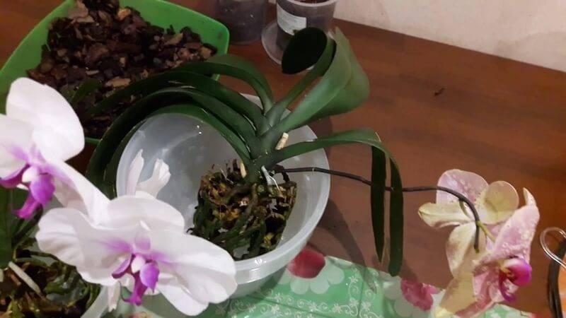 Можно ли пересадить цветущую орхидею фаленопсис?