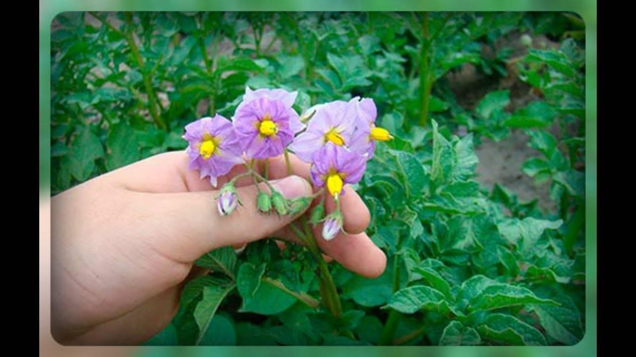 Нужно ли обрывать цветы у картофеля: для чего это делают