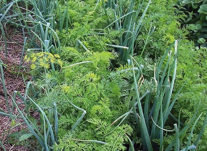 Совместимость овощных культур на грядках