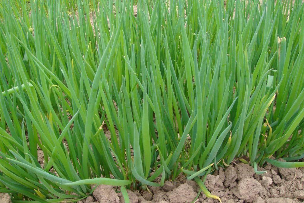 Лук-батун: описание, посадка семенами и рассадой, особенности ухода и выращивания